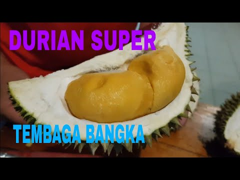 DURIAN SUPER TEMBAGA BANGKA DARI KEBUN RIZAL JOKER BANGKA BARAT