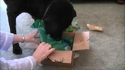 My Black Lab Opening his Christmas Present