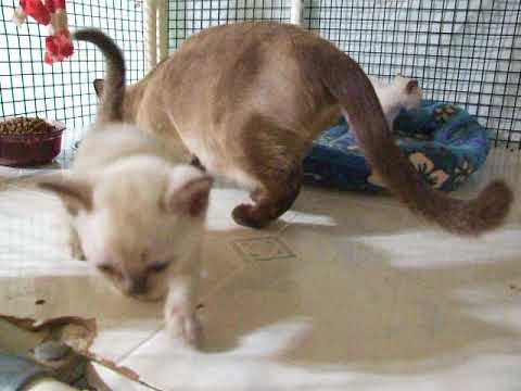 Zanadu Tonkinese kittens 6 weeks old