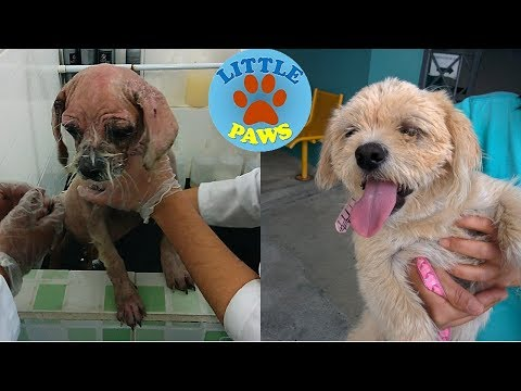 Awe Inspiring Recovery of Starving Poor Puppy Sick with Mange
