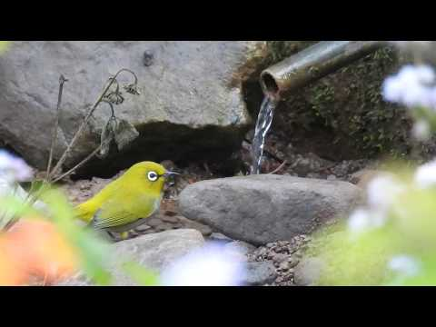 Its bathing time for Oriental White Eye