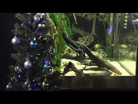 شاهد: شجرة عيد الميلاد تضيء وتصدر أصوات بأمر من سمكة أنقليس…  - نشر قبل 2 ساعة