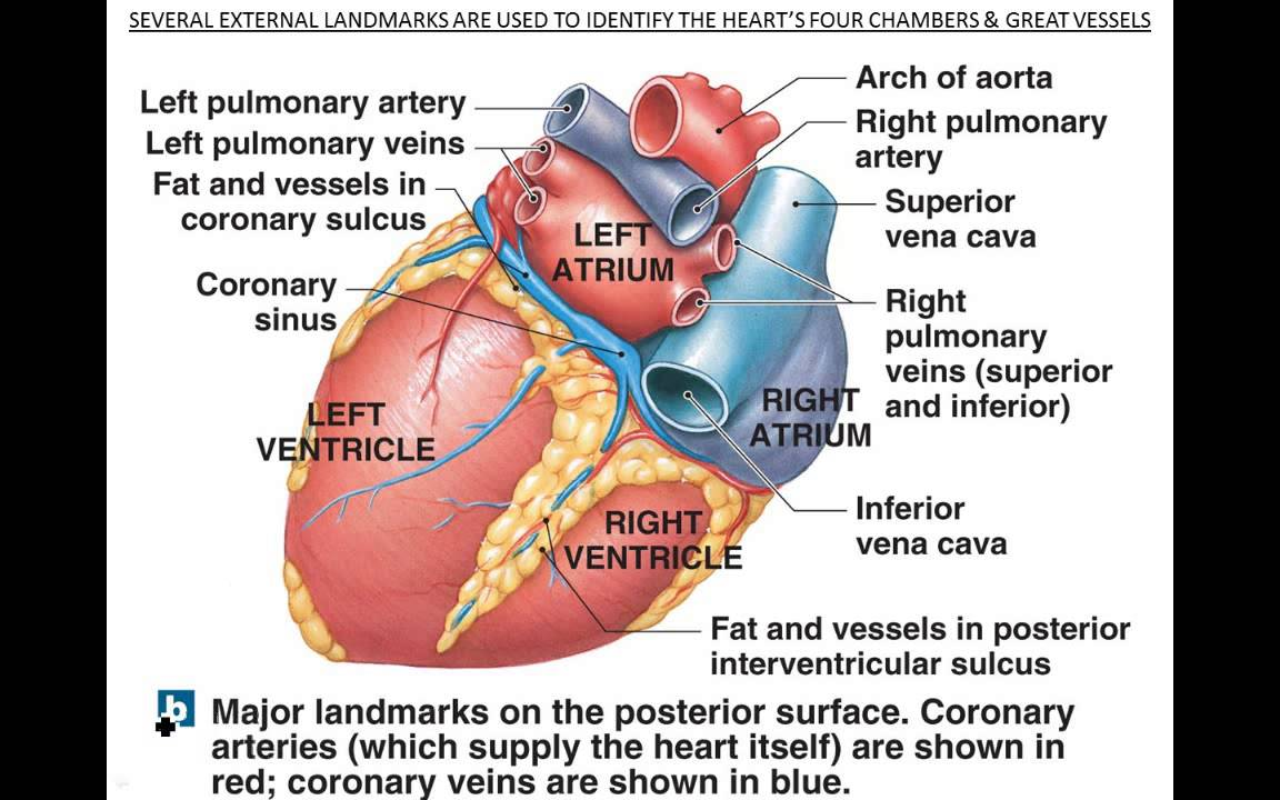 Functional Anatomy of Heart - YouTube