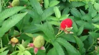Malinotruskawka . Smacznego :) FILMIK pokazuje jakie zjadać malinotruskawki aby był dobre