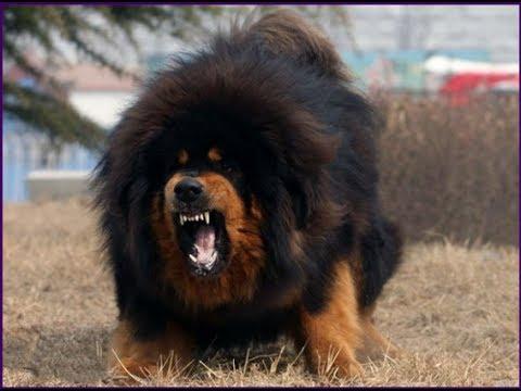 اقوى 10 كلاب في العالم لهواة ومحبي ...