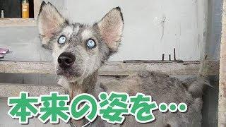 変わり果てた姿のハスキー犬を保護! その10ヵ月後に本来の姿を取り戻す...