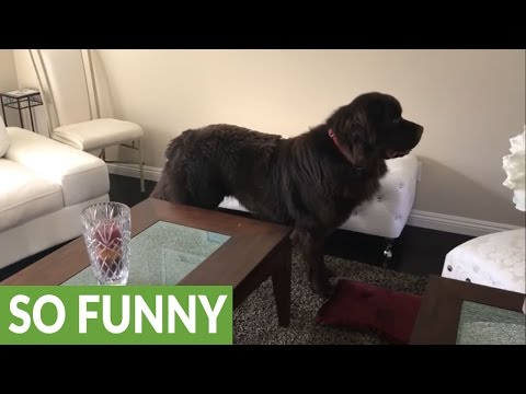 Dog protects girl on hoverboard with pillow