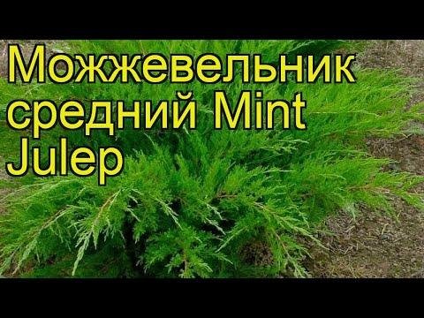 Можжевельник средний Минт джулеп. Краткий обзор, описание Juniperus Pfitzeriana Mint Julep