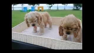 アメリカンコッカーの子犬販売 H24.6.30生まれ バフ・オス2 ht...