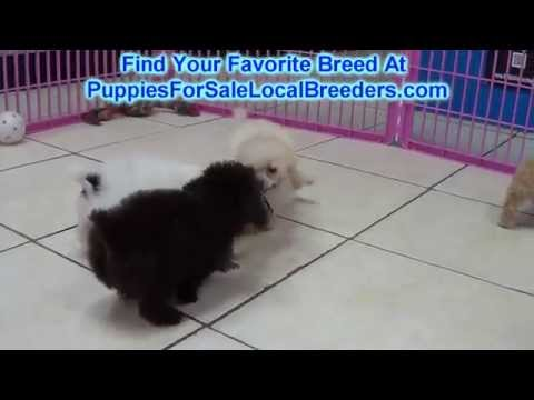 Toy Poodle And Malti Poo Puppies For Sale Local Breeders