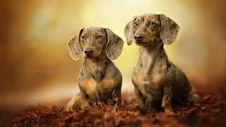 Dachshund  small size dog breed