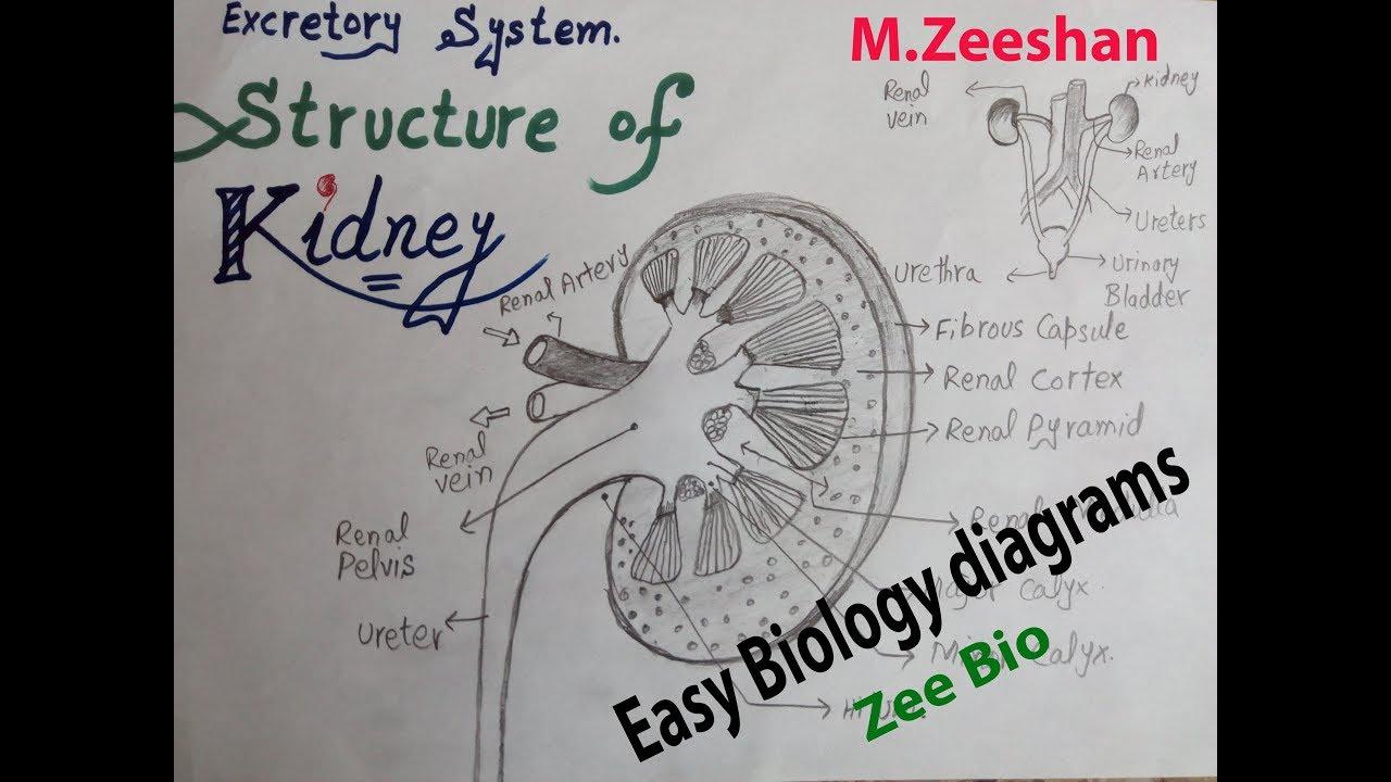 medium resolution of easy diagram of kidney