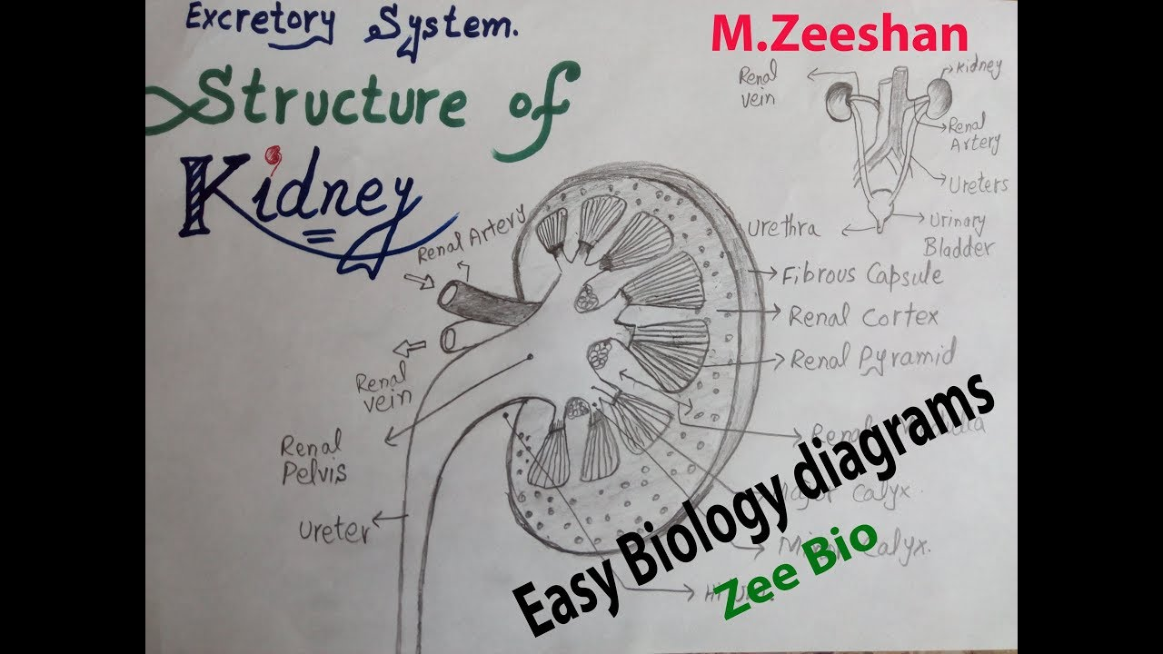 easy diagram of kidney [ 1280 x 720 Pixel ]
