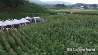 大越 2016 Sunflower Festival