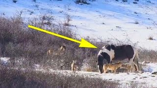 حاصروا الحصان 6 ذئاب برية ، لكنة فعل شيئ جعل المصور مندهش!!