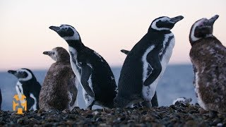 Penguin Conservation in Patagonia | Positive Footprints | World Nomads