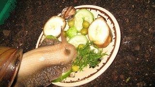 как кормить улиток ахатин вида маргината овум