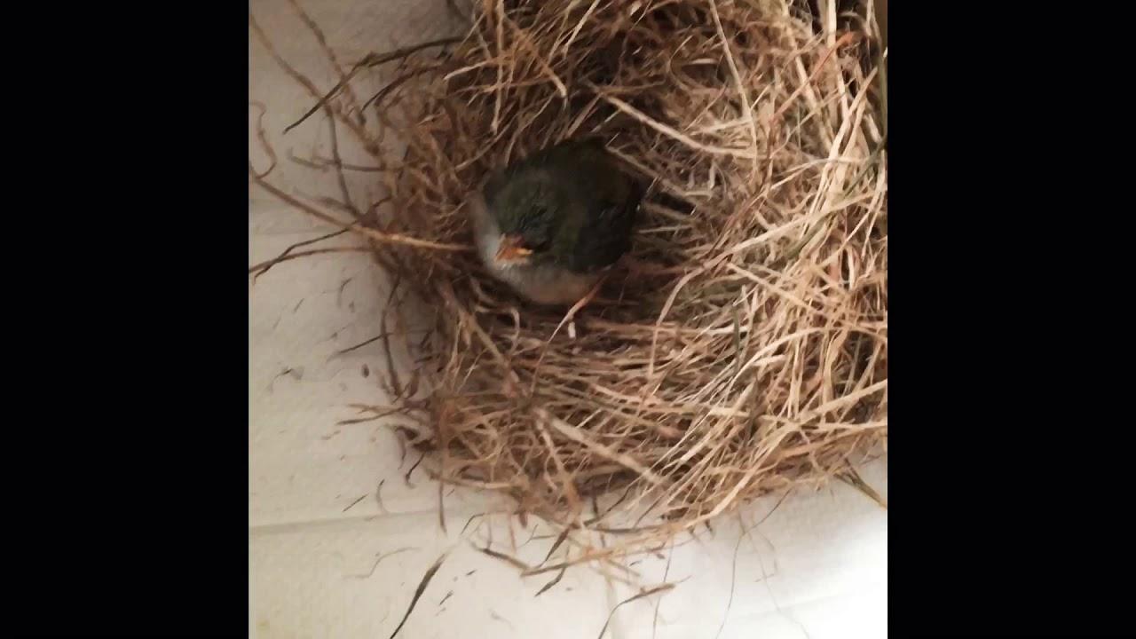 Baby bird rescue- Silver Eye - YouTube