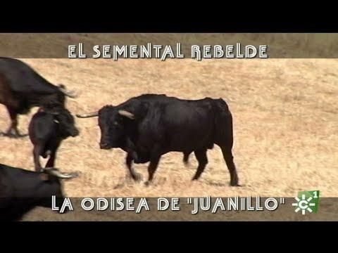 Toro semental rebelde de Manuel Gavira: el mayoral Juanillo en Puerto Banús | Toros desde Andalucía