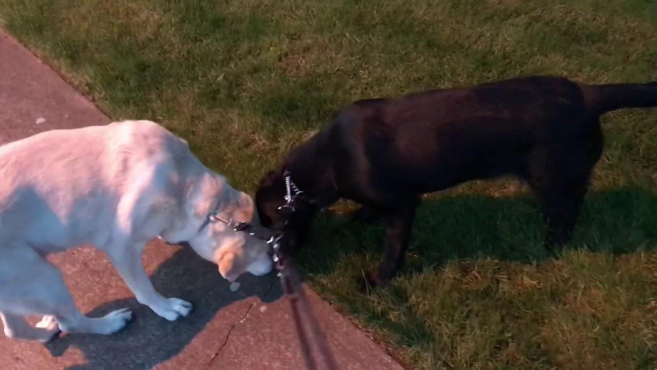 Dog Poops When Walking