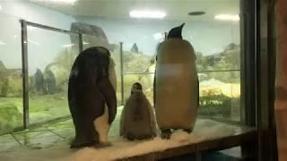 白浜・アドベンチャーワールドで2017年10月に生まれた皇帝ペンギンの赤...