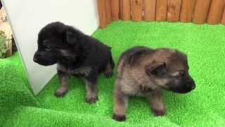 ジャーマンシェパードドッグの子犬です。 ブラックタンとウルフのオス 2...