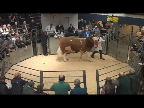 Simmental Show and Sale at Borderway Mart Carlisle April 22nd 2016