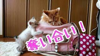 Ep8.先住猫 プリンコの子猫返り? thumbnail