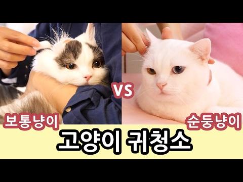 고양이 귀청소: 순둥이 vs 보통반응 Cat Ear Cleaning: Easy Kitty vs Common Reaction