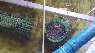 Glass Eel Culture