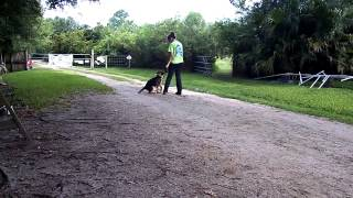 Puppy Training German Shepherd Puppy Alex 1st Time On Leash Flexi Lead