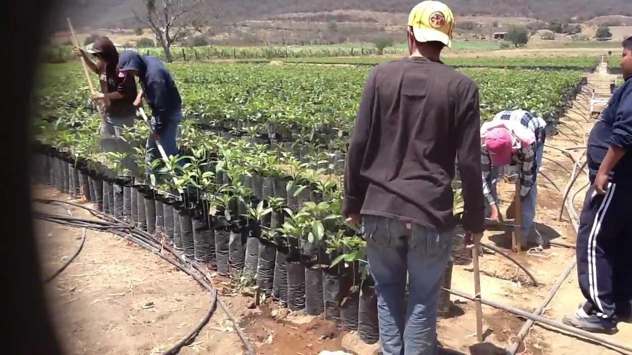 Download traspaleo de plantas de aguacate