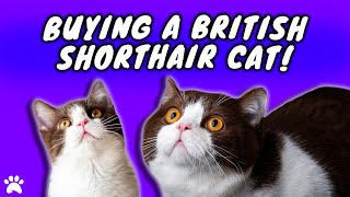 Should I Buy A British Shorthair Cat?