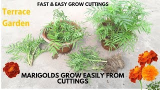 Marigolds grow easily from cuttings.// गेंदा को कटिंग से लगाए। Grow Marigold  in- Terrace Garden. thumbnail