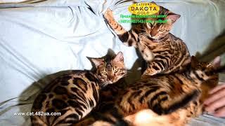 Бенгальская игра на диване, Dakota Gold, bengal cat, cattery, kitten, 08122018