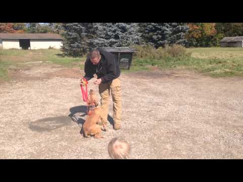 Rescue Pit Bull from Flint, Episode 1 - she learns Sit - Howell MI
