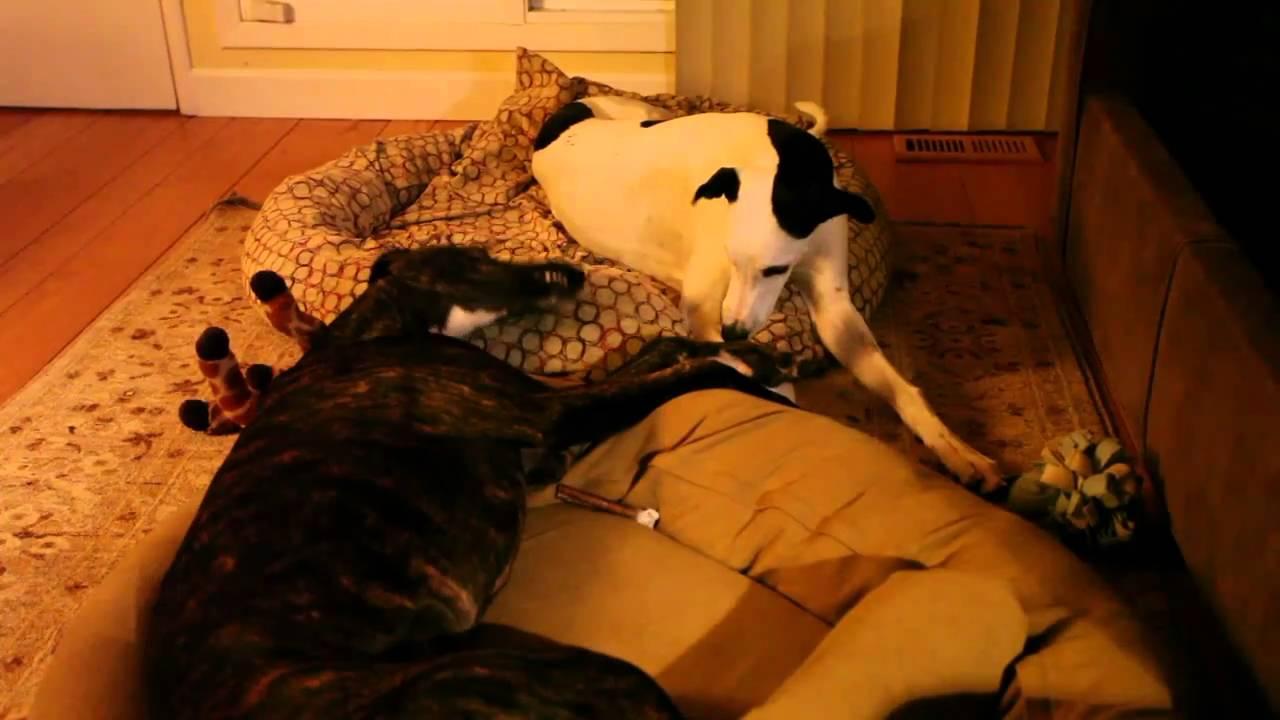 funny greyhound dog talks to sister - youtube