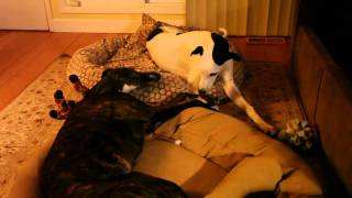 Funny Greyhound Dog Talks To Sister