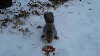 Видео о животных. Весёлые белочки запасаются на зиму.