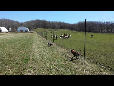 Pitbull & Australian Cattle Dog at the farm