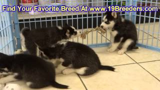 Siberian Husky, Puppies, For, Sale, In, Gillette, Wyoming, Wy, Rock Spriings, Sheridan