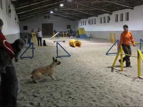 malinois agility training