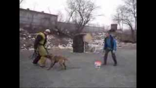Дрессировка бельгийской овчарки 2(Дрессировка бельгийской овчарки. Видео о кинологическом центре в городе Находка, о собаках, их дрессировке..., 2014-02-09T12:24:37.000Z)