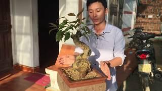 Việc quan trọng cần làm cho cây mai bonsai phôi vừa trồng. ( nếu cây không ghép )