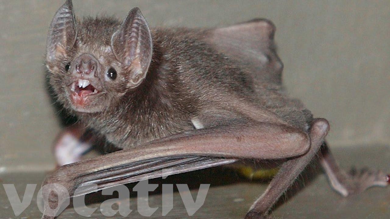 Do bats suck blood