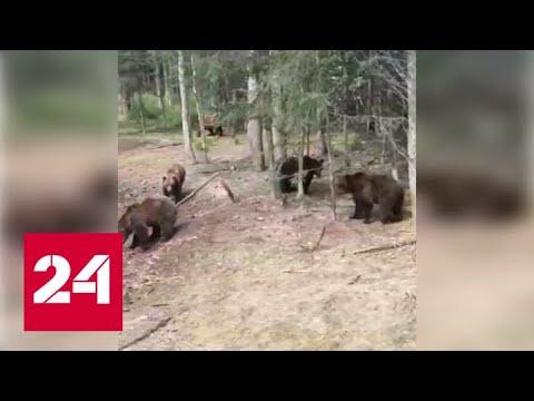 Одиннадцать голодных медведей