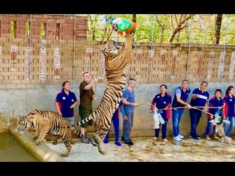 Playing with Tigers in Thailand - 4K HD ...A Place No More
