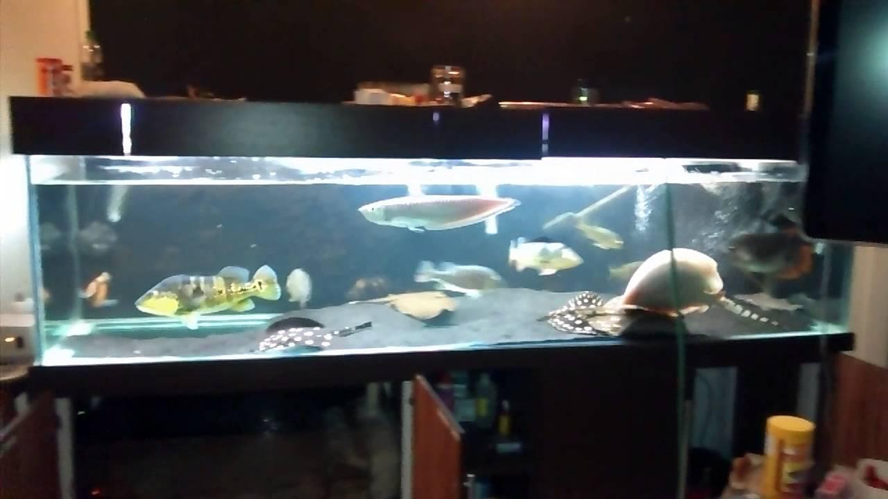 Tpa aquario de jumbos youtube for Carpa comida