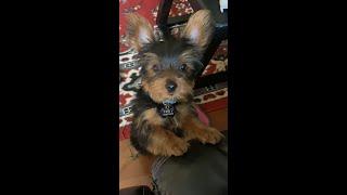 Yorkie puppy throwing a tantrum.