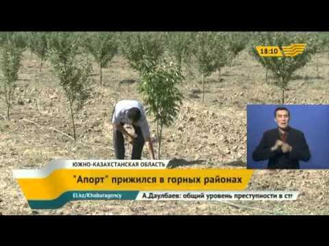 Алматинский «Апорт» прижился в горных районах ЮКО